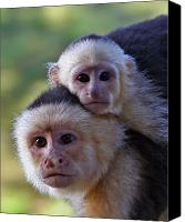 Monkey Canvas Prints - White-faced Capuchin Monkey Mother And Baby Canvas Print by Larry Linton