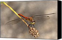 Meadowhawk Canvas Prints - White-faced Meadowhawk Canvas Print by Jeremy Martin