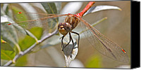 Meadowhawk Canvas Prints - White-Faced Meadowhawk Canvas Print by Mitch Shindelbower