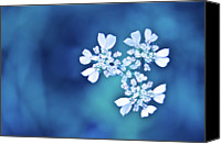 Provence Canvas Prints - White Flowers In Blue Bokeh Canvas Print by Alexandre Fundone