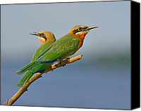 White-fronted Bee-eater (merops Bullockoides) Canvas Prints - White-fronted Bee-eaters Canvas Print by Tony Beck
