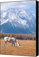 Grand Teton Canvas Prints - White Horse In Teton National Park Wy Usa Canvas Print by Chasing Light Photography Thomas Vela