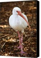 Ibis Canvas Prints - White Ibis Canvas Print by Adam Romanowicz