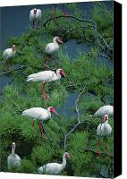 Ibis Canvas Prints - White Ibis At Galveston Bay Near Smith Canvas Print by Joel Sartore