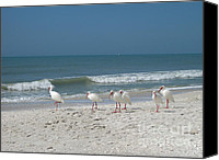 Ibis Canvas Prints - White Ibis in Naples Florida Canvas Print by Heidi Hermes