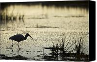 Bird Canvas Prints - White Ibis Morning Hunt Canvas Print by Dustin K Ryan