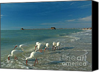 Coast Tapestries Textiles Canvas Prints - White Ibis near Historic Naples Pier Canvas Print by Juergen Roth