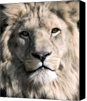 Lion Canvas Prints - White Lion Canvas Print by Dean Bertoncelj