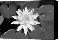 Water Lily Canvas Prints - White Lotus 2 Canvas Print by Ellen Henneke