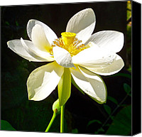 Lotus Full Bloom Canvas Prints - White Lotus Canvas Print by Bryn Berg