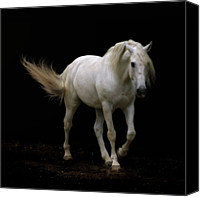 Domestic Animals Photography Canvas Prints - White Lusitano Horse Walking Canvas Print by Christiana Stawski
