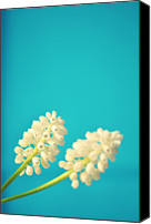 Rotterdam Canvas Prints - White Muscari Flowers Canvas Print by Photo by Ira Heuvelman-Dobrolyubova
