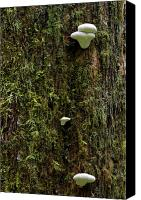Serenity Canvas Prints - White Mushrooms - Quinault temperate rain forest - Olympic Peninsula WA Canvas Print by Christine Till