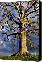 Quercus Canvas Prints - White Oak and Storm Clouds Canvas Print by Thomas R Fletcher