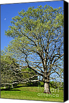 Quercus Canvas Prints - White Oak Tree and Moon Canvas Print by Thomas R Fletcher