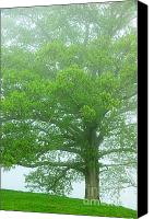 Quercus Canvas Prints - White Oak Tree in Fog Canvas Print by Thomas R Fletcher