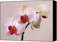 Purple Floral Photo Special Promotions - White Orchid  Canvas Print by Juergen Roth