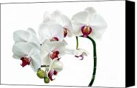 Orchidaceae Canvas Prints - White Orchids Canvas Print by Ann Garrett