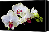 Orchidaceae Canvas Prints - White Orchids Canvas Print by Garry Gay