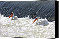 White Pelican Canvas Prints - White Pelicans in Washington State Canvas Print by Carol Groenen