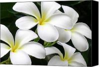 Hawaiian Islands Canvas Prints - White Plumeria Canvas Print by James Temple