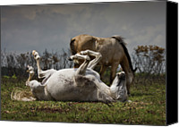 Pony Canvas Prints - White Pony Rolling In Grass In Sunshine Canvas Print by New-Forest-Photographer.co.uk