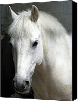 Pony Canvas Prints - White Pony Canvas Print by Sally Crossthwaite