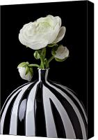 Vases Canvas Prints - White ranunculus in black and white vase Canvas Print by Garry Gay