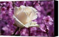 White Rose Canvas Prints - White rose and plum blossoms Canvas Print by Garry Gay