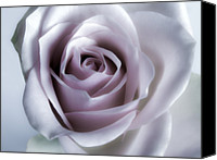 Flower Images Canvas Prints - White Rose Flower Closeup - Flower Photograph Canvas Print by Artecco Fine Art Photography - Photograph by Nadja Drieling