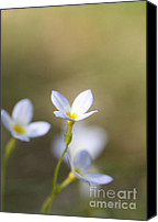 Bluet Canvas Prints - White Serenity Canvas Print by Neal  Eslinger