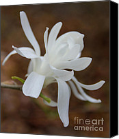 Magnolias Canvas Prints - White Star Magnolia Opening Canvas Print by Jennie Marie Schell