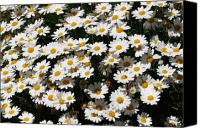 Daisies Flowers Canvas Prints - White Summer Daisies Canvas Print by Christine Till
