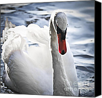 Blue Swan Canvas Prints - White swan Canvas Print by Elena Elisseeva