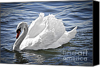 Innocence Canvas Prints - White swan on water Canvas Print by Elena Elisseeva