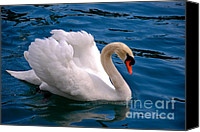 High Quality Canvas Prints - White Swan Canvas Print by Syed Aqueel