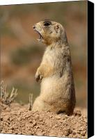 Prairie Dog Photo Canvas Prints - White-tailed Prairie Dog Giving A Fierce Bark Canvas Print by Max Allen