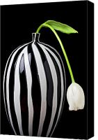 Decorative Floral Canvas Prints - White tulip in striped vase Canvas Print by Garry Gay