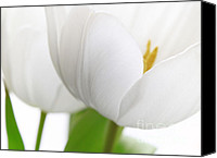 Macro Photography Canvas Prints - White Tulips Canvas Print by Kristin Kreet