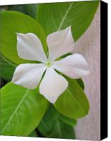 Vinca Flowers Canvas Prints - White Vinca Canvas Print by Adrian Guerra
