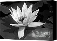 Background Pyrography Canvas Prints - White Water Lily Canvas Print by Mira Dimitrijevic