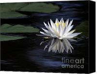 Gardens Canvas Prints - White Water Lily Canvas Print by Sabrina L Ryan
