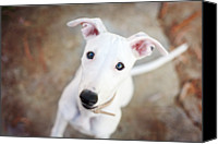 Whippet Canvas Prints - White Whippet Pup Canvas Print by photographer Samantha Pearce
