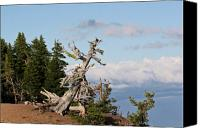 Pine Canvas Prints - Whitebark Pine at Crater Lakes rim - Oregon Canvas Print by Christine Till