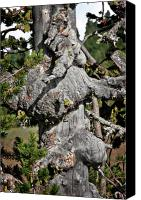 Old Trees Canvas Prints - Whitebark Pine Tree - Iconic Endangered Keystone Species Canvas Print by Christine Till