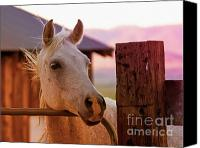 Horse Portrait  Canvas Prints - Whitey at Dawn Canvas Print by Gus McCrea