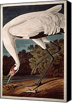 Ornithology Canvas Prints - Whooping Crane Canvas Print by John James Audubon