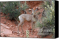 Mule Deer Canvas Prints - Wild and Pretty - Garden of the Gods Colorado Springs Canvas Print by Christine Till