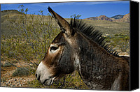 Burro Canvas Prints - Wild At Heart Canvas Print by Stephen Campbell