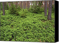 Forest Floor Canvas Prints - Wild Blueberry (vaccinium Sp.) Canvas Print by Bjorn Svensson